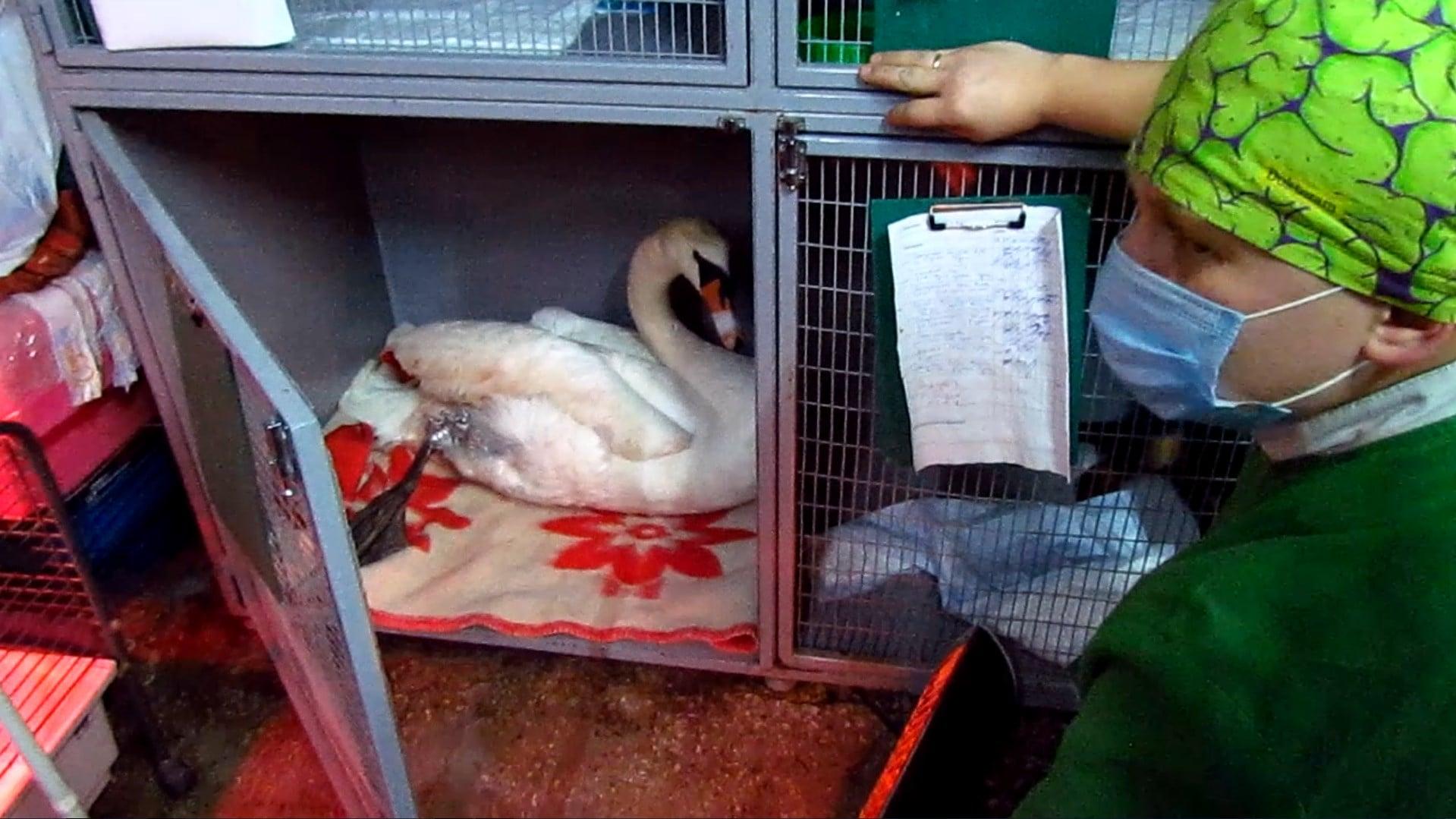 Лебедя из Старозаводского спасали в Днепре: ветеринары считают, что в птицу стреляли | Прихист